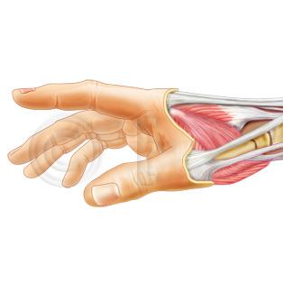 Handmuskeln