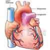 Herz frontal