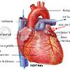 Herz Aorta Hohlvene