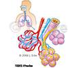 Alveolen 1