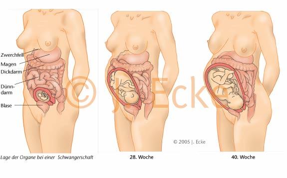 Gebärmutter In Der Schwangerschaft