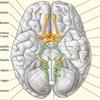 Gehirn basal