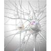 Nervenzellen Nervengewebe