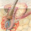 Haarwurzelscheide Nervenfasern