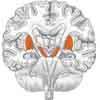 Gehirnquerschnitt