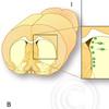 Neurogenese Ventrikelwand Riechkolben forneurocell